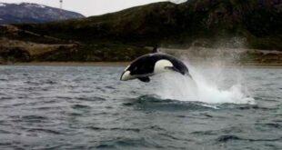 Avistaje de Orcas en la Bahía de Ushuaia